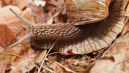 Garden snail in autumn