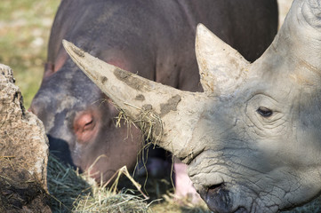 white rhino portrait with a hippo