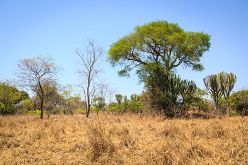 Landscape of African grassland with cactus trees