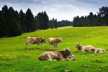 Cows in forest meadow in summer