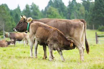 calf feeding from  cow mom