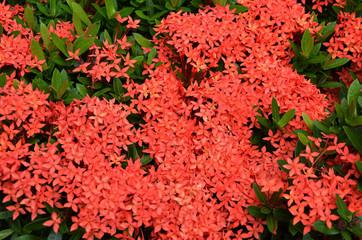 bouquet of ixora flower, West Indian Jasmine, Ixora chinensis La