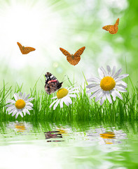 Fresh green grass with daisies and butterflies on meadow