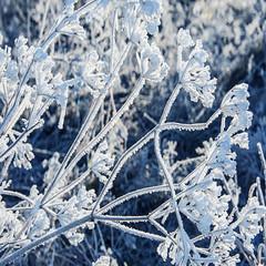 winter meadow with frozen plants