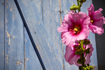 Beautiful pink hollyhock flower against blue wooden planks backg