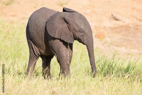 Papiers peints Elephant Small elephant calf play in long green grass and having lot of f