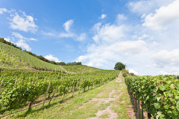 Dresden - Germany - Viniculture