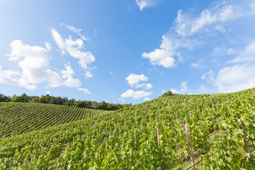 Dresden - Germany - Cultivation of vine