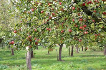 Apfelbaum-Plantage