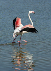 Phoenicopterus ruber, flamingo, in natural enivironment.