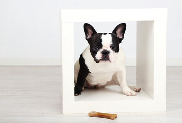 French bulldog with bone in room