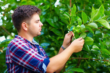 young man cares for persimmon tree in fruit garden