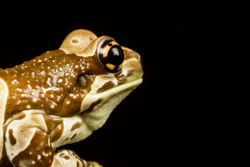 Mission golden-eyed tree frog or Amazon milk frog (Trachycephalu