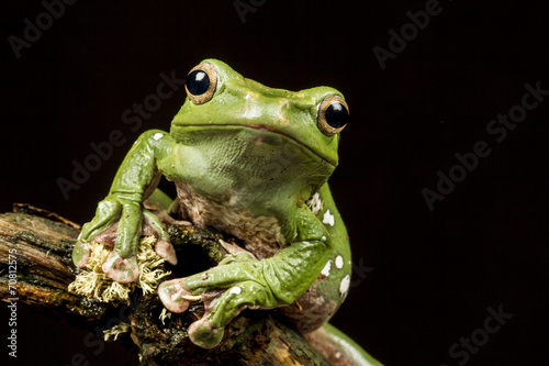 Vietnamese Blue (Gliding or Flying) Tree Frog (Polypedates denny - 70812575
