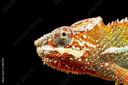 Keuken foto achterwand Kameleon Panther Chameleon (Furcifer pardalis)