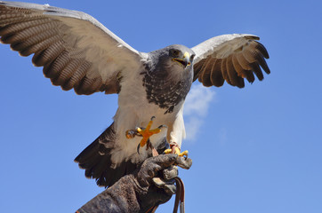 Falke auf Beute aus