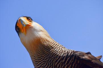 Exotischer Spaßvogel Blick