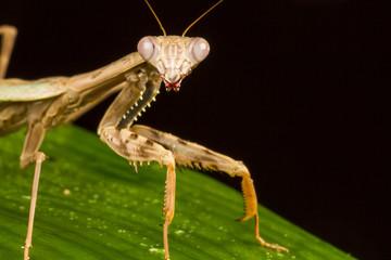 Griffin Mantis (Polyspilota griffinii)