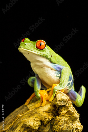 Red-eyed Green Tree Frog (Agalychnis callidryas) - 70813983