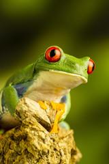 Red-eyed Green Tree Frog (Agalychnis callidryas)