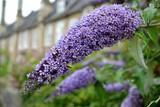 Detail from purple butterfly bush flowers