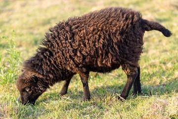 Small Ushant island sheep