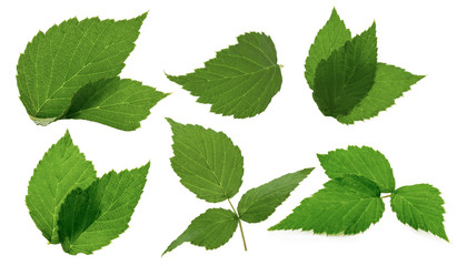leaves of blackberry isolated on the white background