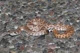 Baby Mojave Rattlesnake - Crotalus scutulatus poster