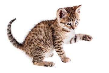 Frisky kitten