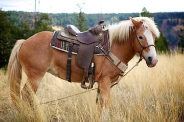 Haflinger Mare with Saddle