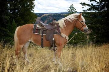 Saddled Haflinger