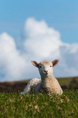 isolated baby lamb against blue sky