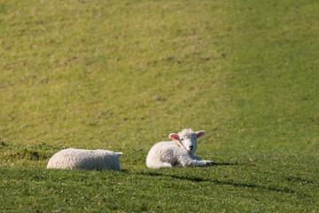 tired lambs