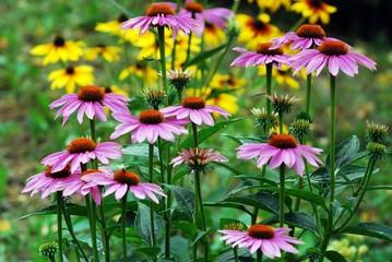 Echinacea purpurea - an herb stimulating the immune system