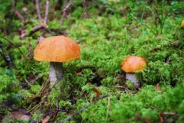 Orange-cap boletus growing in the forest