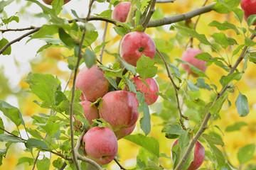 Яблоки на фоне дерева с желтыми листьями