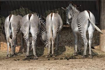zebra bottom