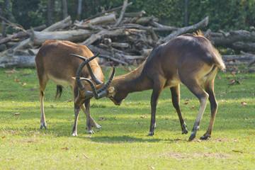 African deers while fighting