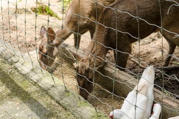 deer in farm at Chiang Rai,Thailand