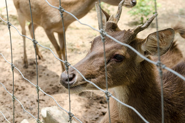 deer in farm at Chiang Rai,Thailand