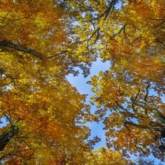 old oak trees in autumn