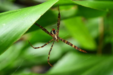 Long legs spider in green leaves.