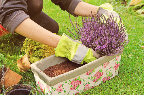 gardeners hand planting heather flowers in pot with soil - 70831104