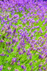 Lavender flowers field