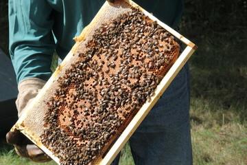 abeilles sur cadre de ruche