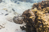 Giant clam (Tridacna gigas) poster
