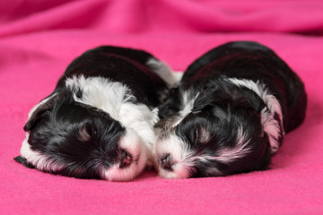 Two cute sleeping havanese puppies dog on a pink bedspread