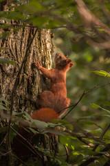 Wiewiórka Polspolita