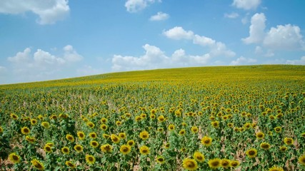 Sunflowers timelapse