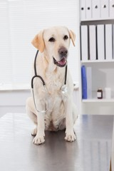 Cute dog sitting with a stethoscope